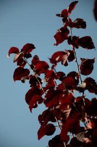 Prunus cerasifera pissardii1